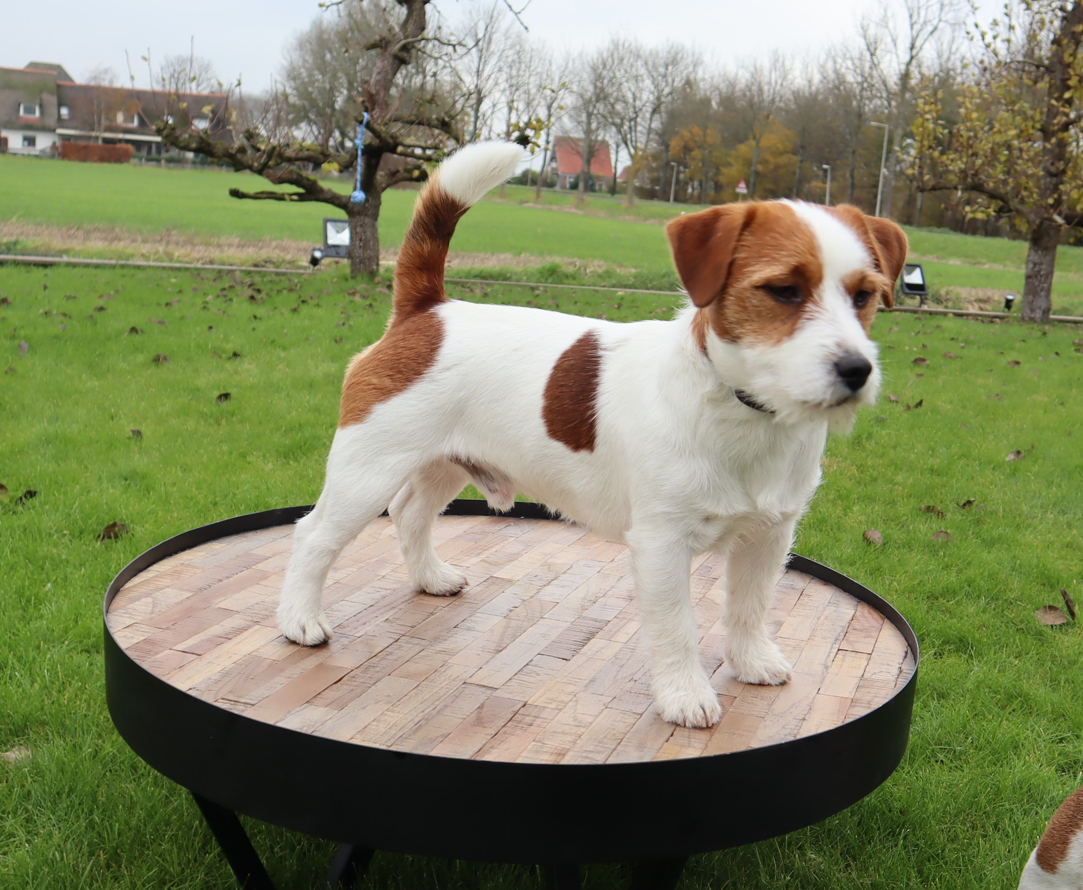 Hunter Hawk Macbeth (Kennel DapperRijk)