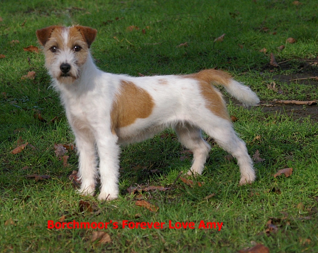 Borchmoor's Forever Love Amy (Kennel Borchmoor's)